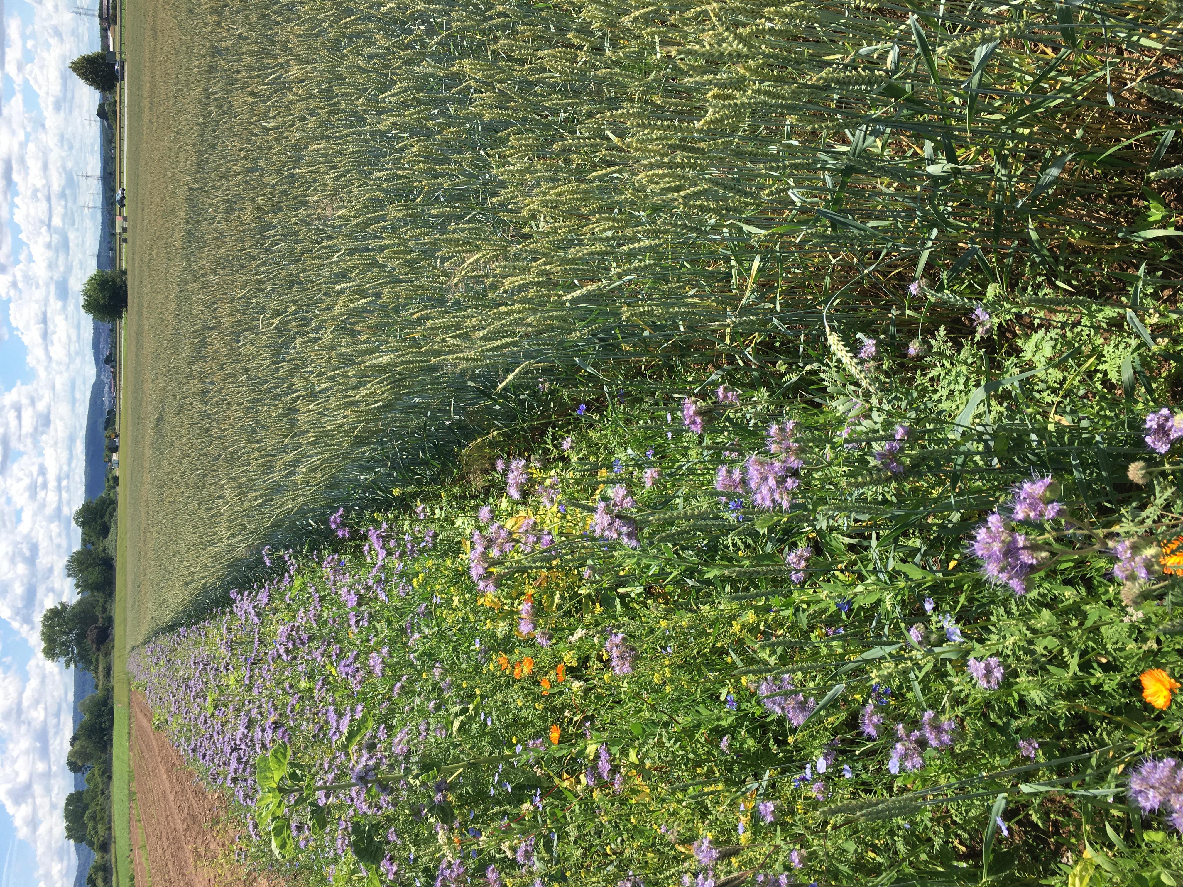 Blühstreifen für Insekten neben unserem Getreide