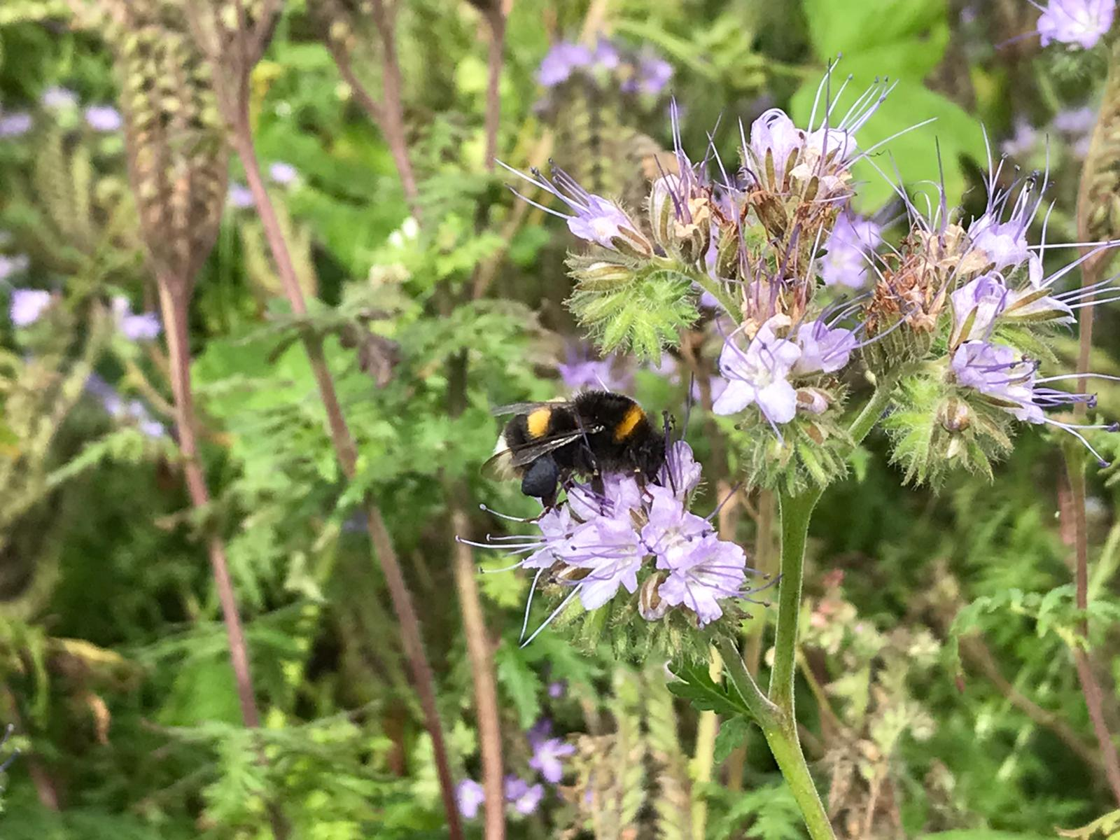 Insekten im Blühstreifen Mampel