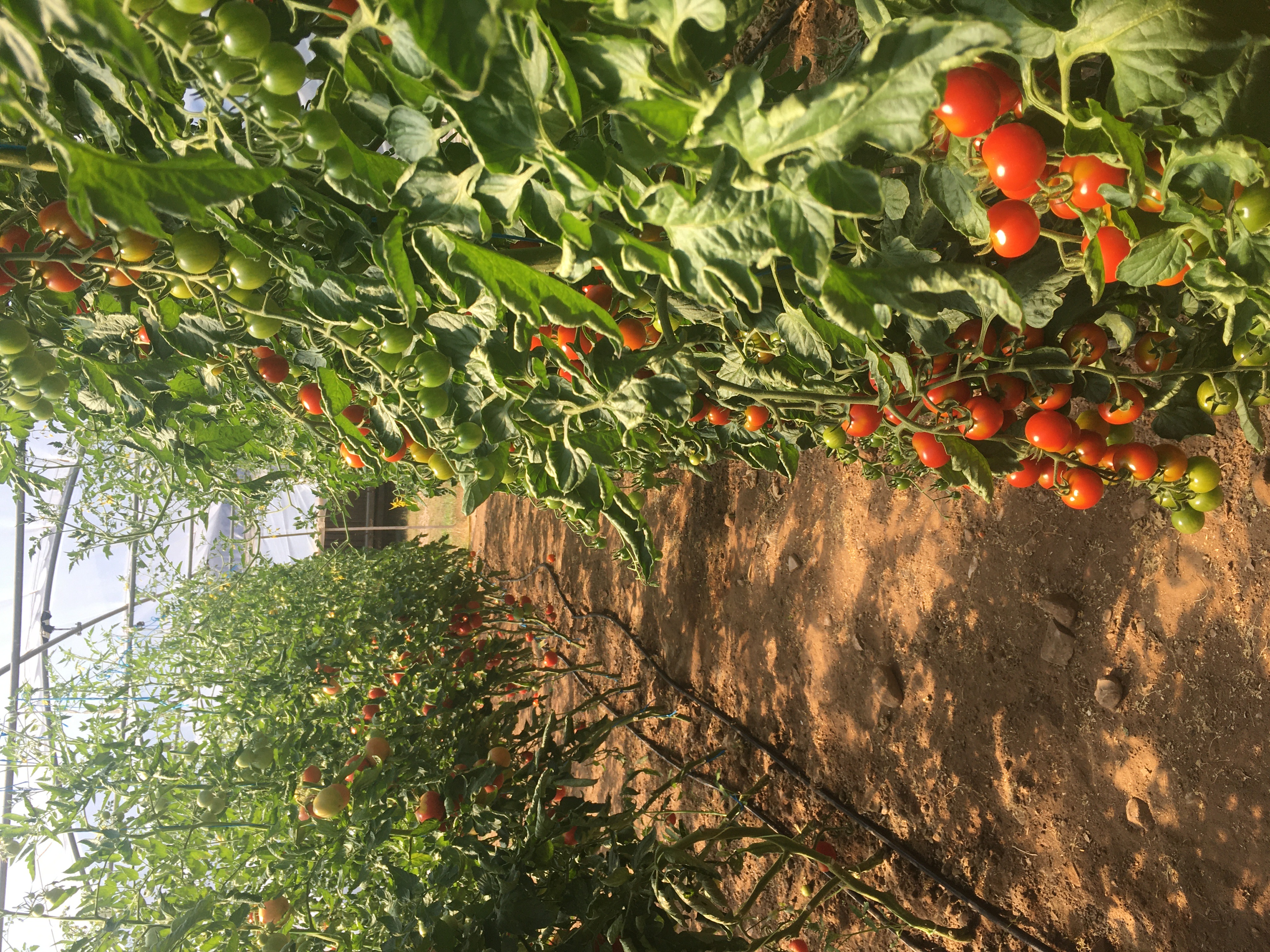 Unsere Tomaten im Folientunnel