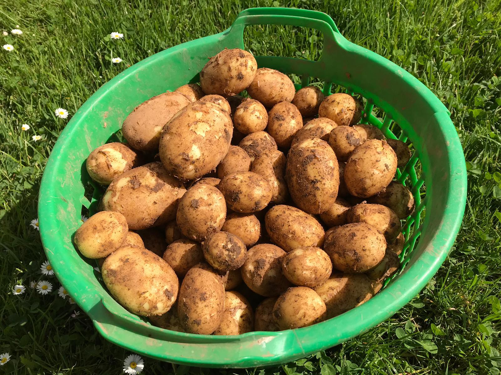 Erste neue Kartoffeln im Hofladen Mampel